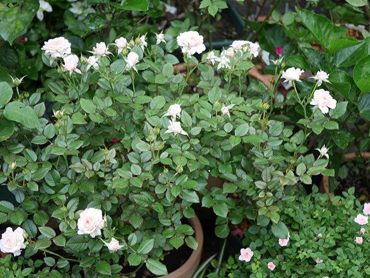 レディ・メイアンディナ(Lady Meillandina)の2番花が増えてきた。ミニバラ。2020年-009.jpg