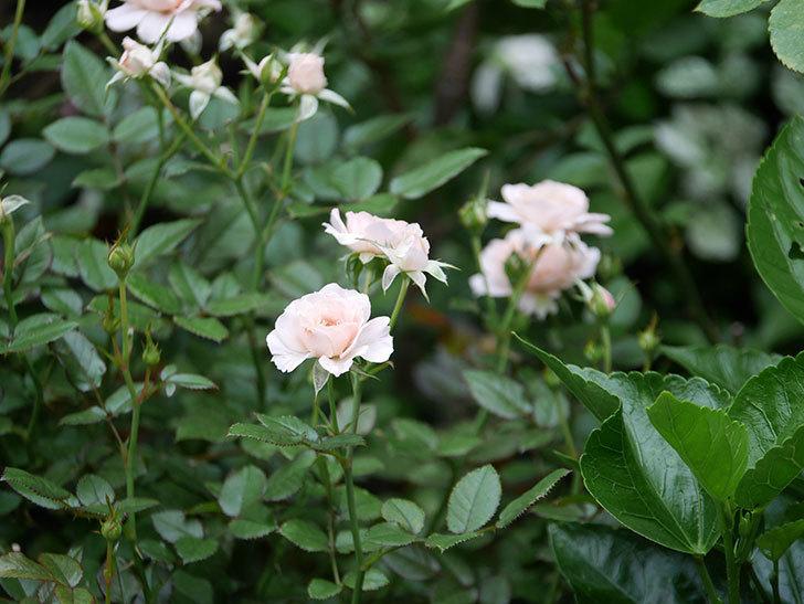 レディ・メイアンディナ(Lady Meillandina)の2番花が増えてきた。ミニバラ。2020年-010.jpg