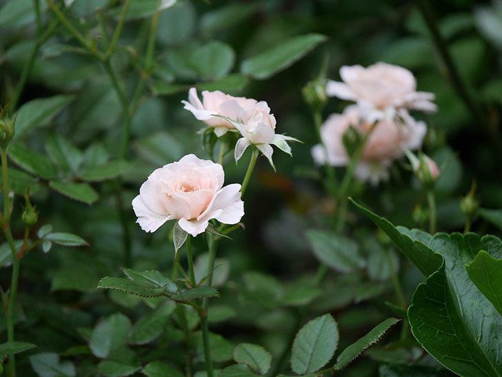 レディ・メイアンディナ(Lady Meillandina)の2番花が増えてきた。ミニバラ。2020年-011.jpg