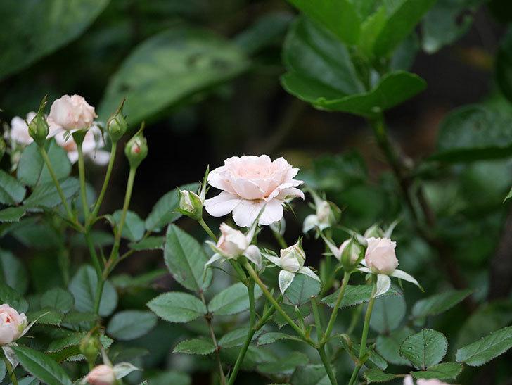 レディ・メイアンディナ(Lady Meillandina)の2番花が増えてきた。ミニバラ。2020年-012.jpg