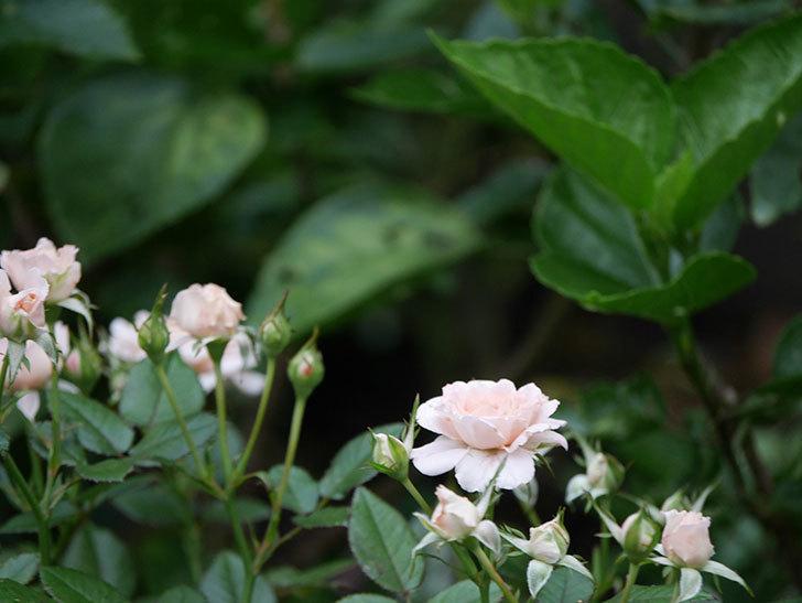 レディ・メイアンディナ(Lady Meillandina)の2番花が増えてきた。ミニバラ。2020年-013.jpg