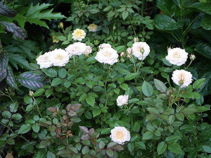 レディ・メイアンディナ(Lady Meillandina)の夏花が咲いた。ミニバラ。2020年-001.jpg
