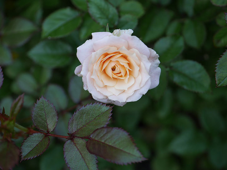 レディ・メイアンディナ(Lady Meillandina)の夏花が咲いた。ミニバラ。2020年-002.jpg