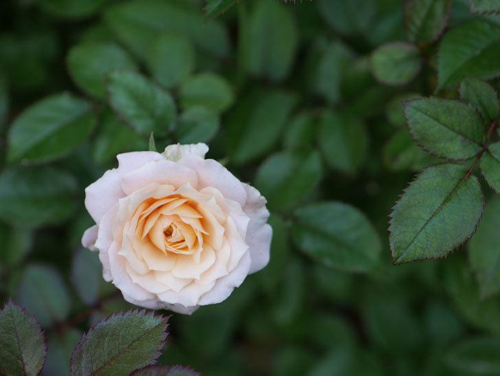 レディ・メイアンディナ(Lady Meillandina)の夏花が咲いた。ミニバラ。2020年-003.jpg
