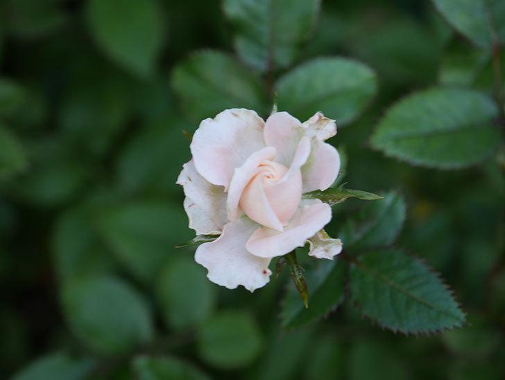 レディ・メイアンディナ(Lady Meillandina)の夏花が咲いた。ミニバラ。2020年-004.jpg