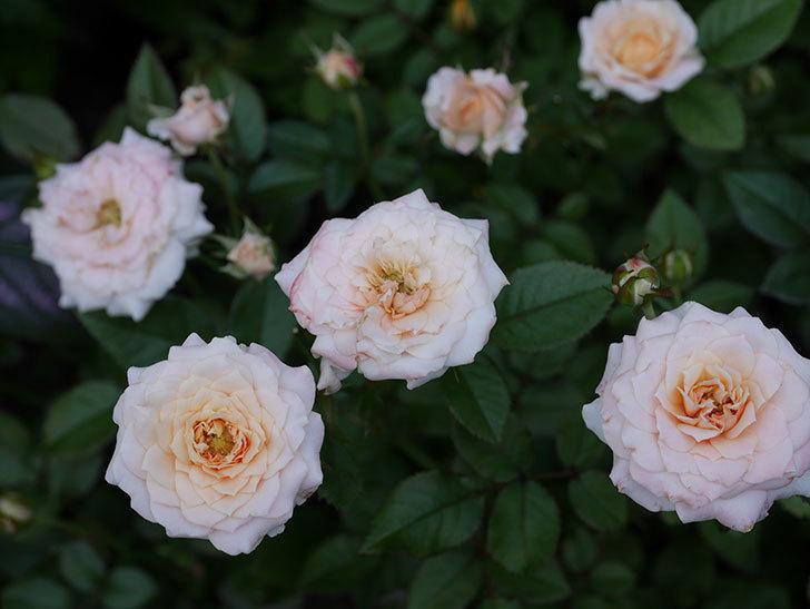 レディ・メイアンディナ(Lady Meillandina)の夏花が咲いた。ミニバラ。2020年-005.jpg