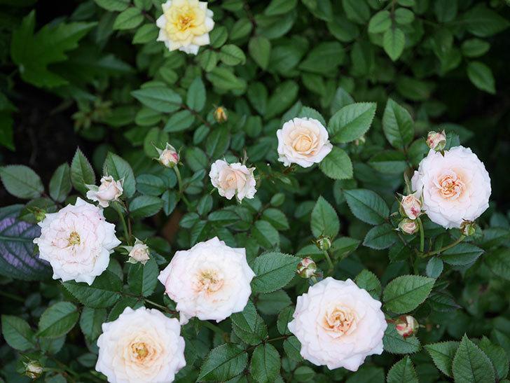 レディ・メイアンディナ(Lady Meillandina)の夏花が咲いた。ミニバラ。2020年-006.jpg