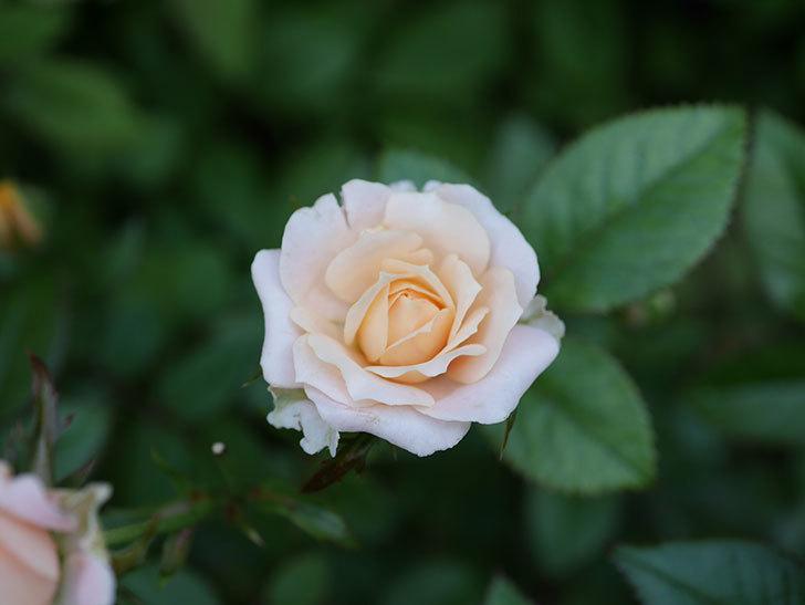 レディ・メイアンディナ(Lady Meillandina)の夏花が咲いた。ミニバラ。2020年-007.jpg