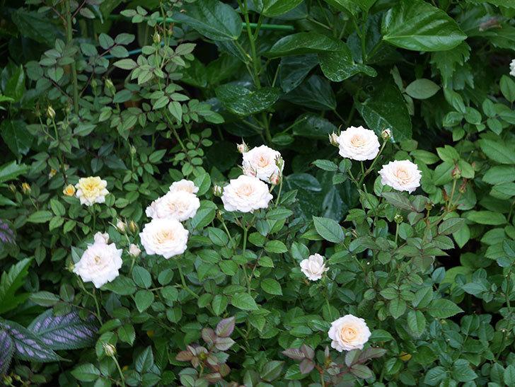 レディ・メイアンディナ(Lady Meillandina)の夏花が咲いた。ミニバラ。2020年-008.jpg