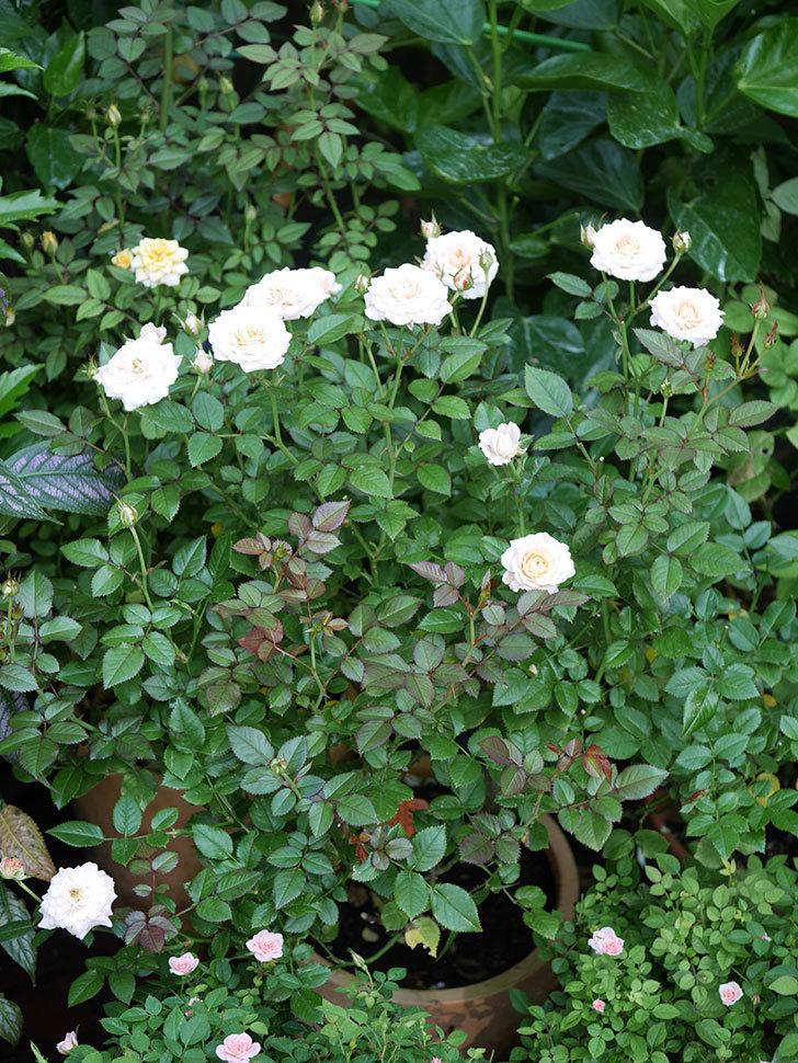 レディ・メイアンディナ(Lady Meillandina)の夏花が咲いた。ミニバラ。2020年-009.jpg