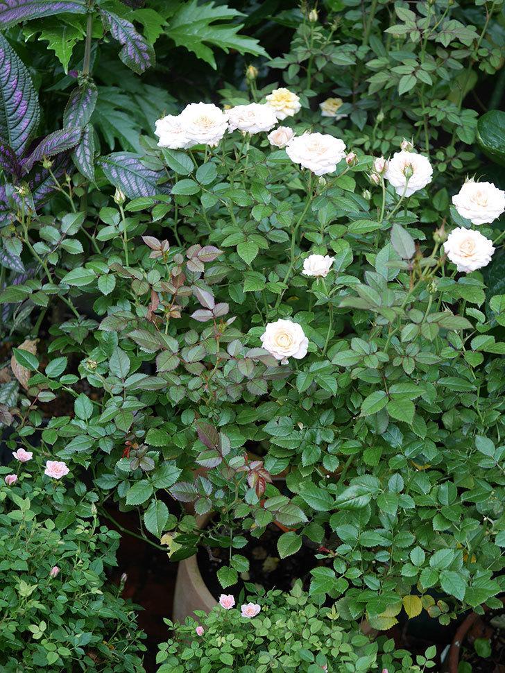 レディ・メイアンディナ(Lady Meillandina)の夏花が咲いた。ミニバラ。2020年-010.jpg