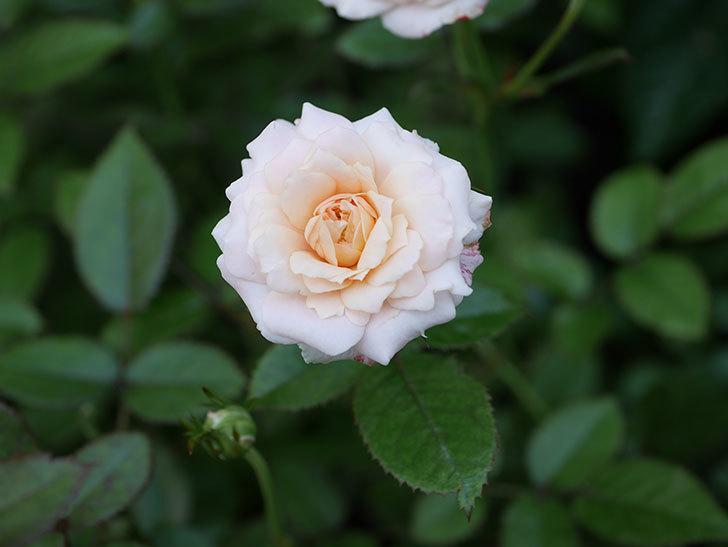 レディ・メイアンディナ(Lady Meillandina)の夏花が咲いた。ミニバラ。2020年-011.jpg