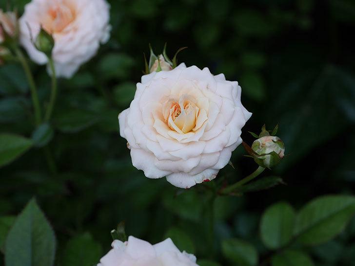 レディ・メイアンディナ(Lady Meillandina)の夏花が咲いた。ミニバラ。2020年-012.jpg