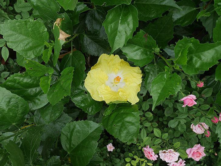 レモンイエローに今年最初の花が咲いた。2019年-4.jpg