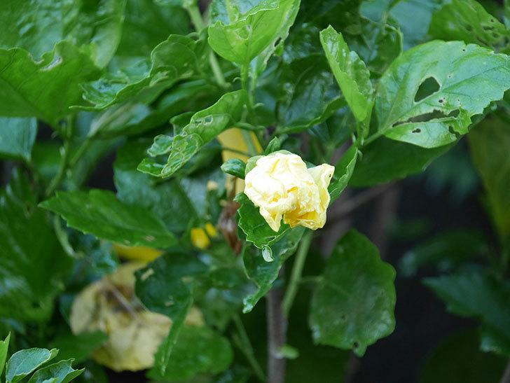 レモンイエローに今年最初の花が咲いた。2020年-001.jpg