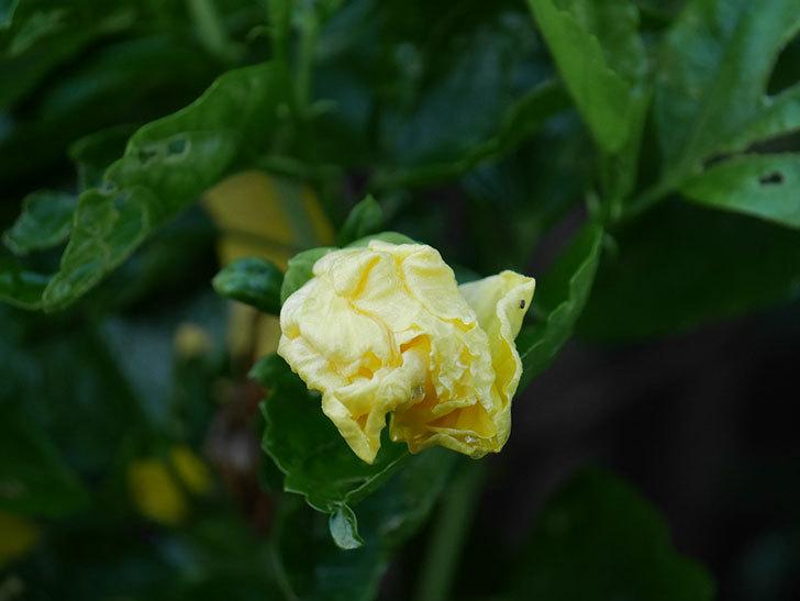 レモンイエローに今年最初の花が咲いた。2020年-002.jpg