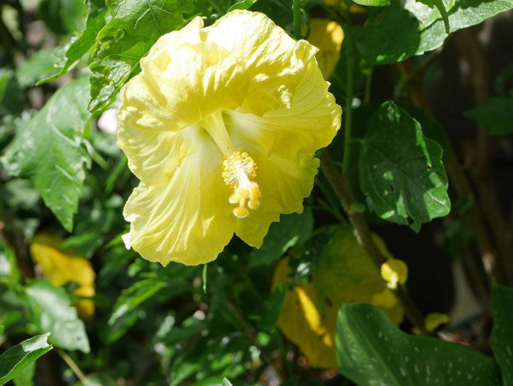 レモンイエローに今年最初の花が咲いた。2020年-004.jpg
