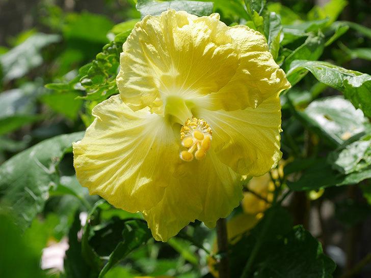 レモンイエローに今年最初の花が咲いた。2020年-007.jpg