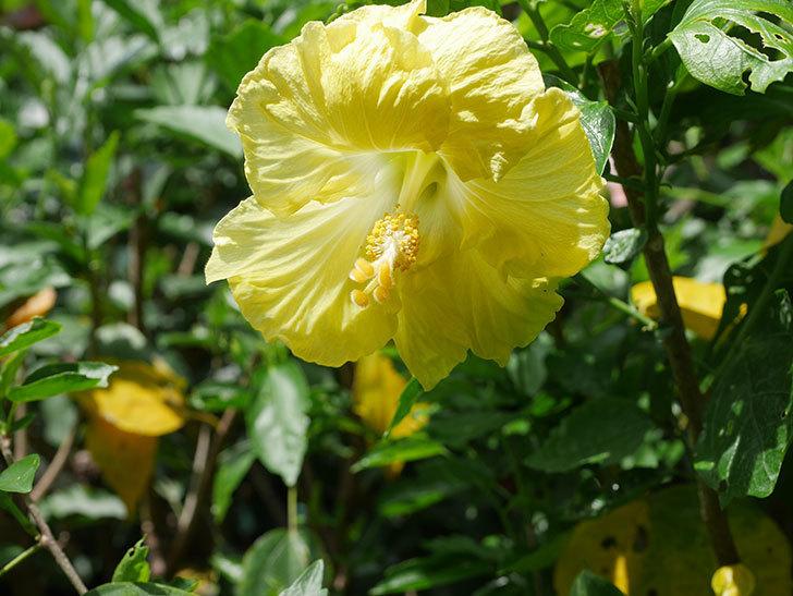 レモンイエローに今年最初の花が咲いた。2020年-011.jpg