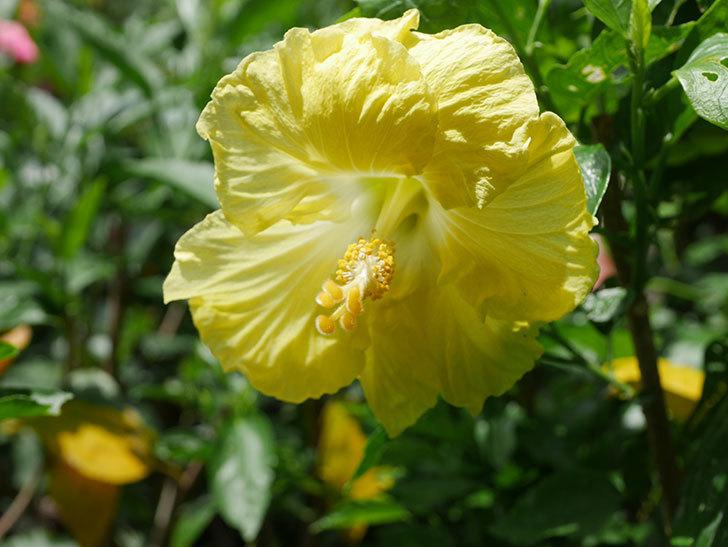 レモンイエローに今年最初の花が咲いた。2020年-012.jpg