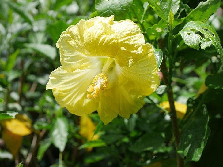 レモンイエローに今年最初の花が咲いた。2020年-013.jpg