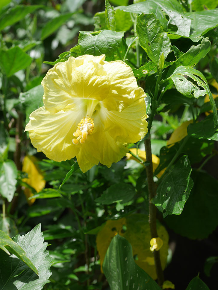 レモンイエローに今年最初の花が咲いた。2020年-015.jpg