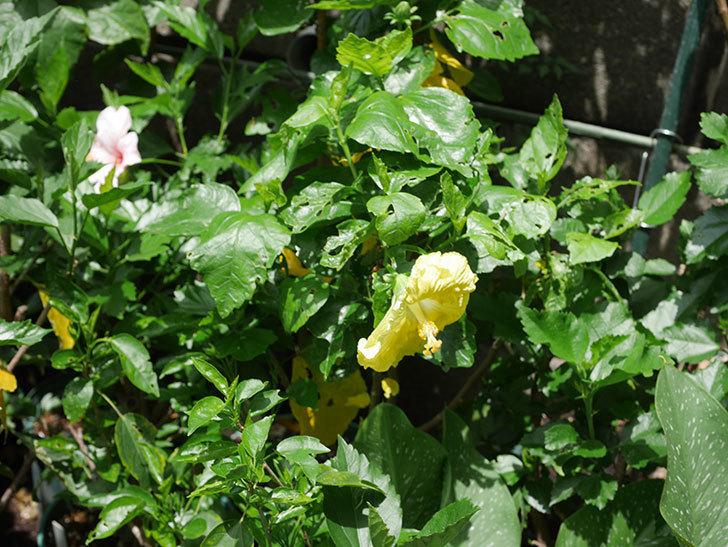 レモンイエローに今年最初の花が咲いた。2020年-016.jpg