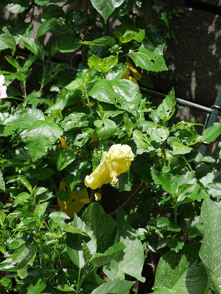 レモンイエローに今年最初の花が咲いた。2020年-017.jpg
