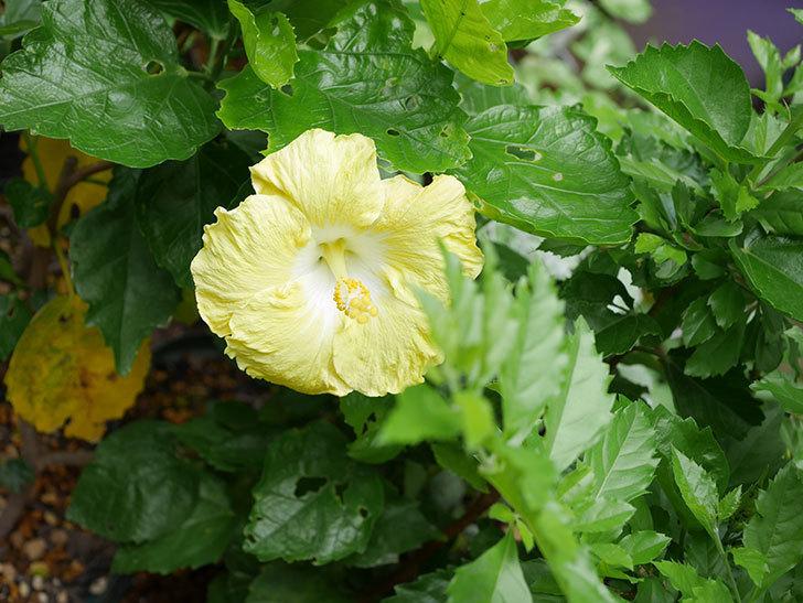レモンイエローの花が咲いた。2018年-3.jpg
