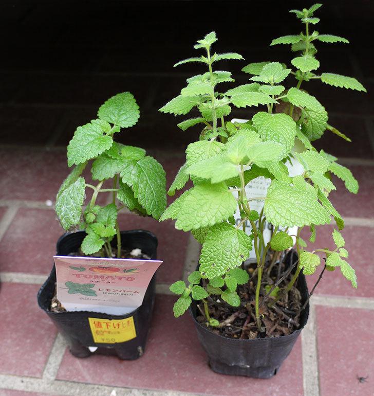 レモンバームの苗がホームズで50円だったので2個買って来た。2016年-1.jpg