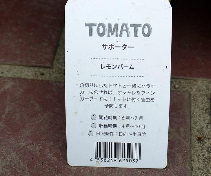 レモンバームの苗がホームズで50円だったので2個買って来た。2016年-3.jpg