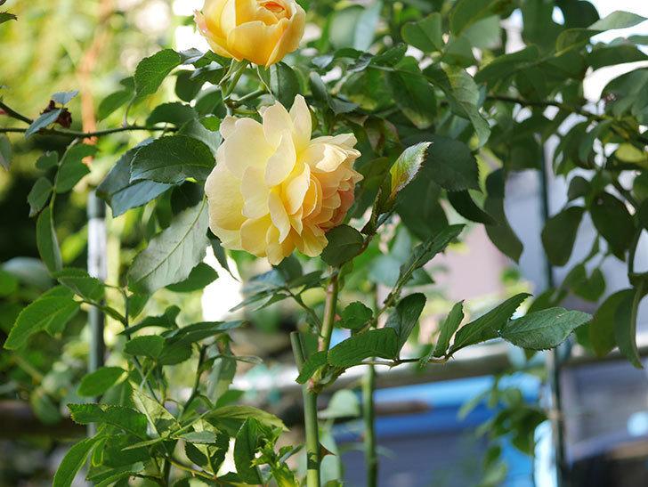レヨン・ドゥ・ソレイユ(Rayon de Soleil)の秋花が咲いた。木立バラ。2020年-001.jpg