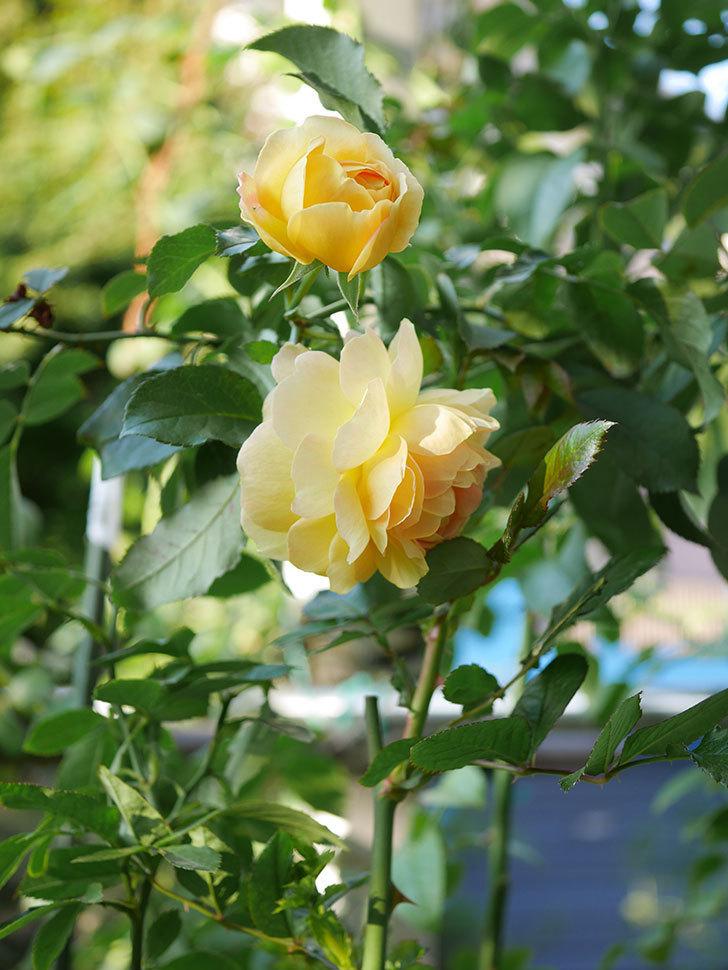 レヨン・ドゥ・ソレイユ(Rayon de Soleil)の秋花が咲いた。木立バラ。2020年-002.jpg