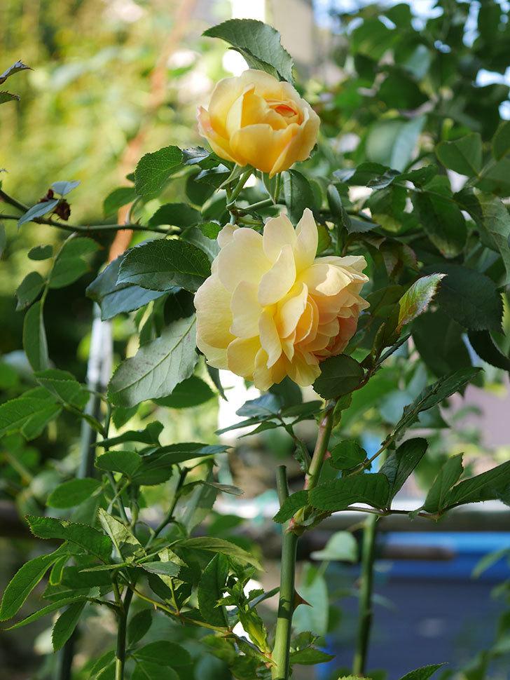 レヨン・ドゥ・ソレイユ(Rayon de Soleil)の秋花が咲いた。木立バラ。2020年-003.jpg