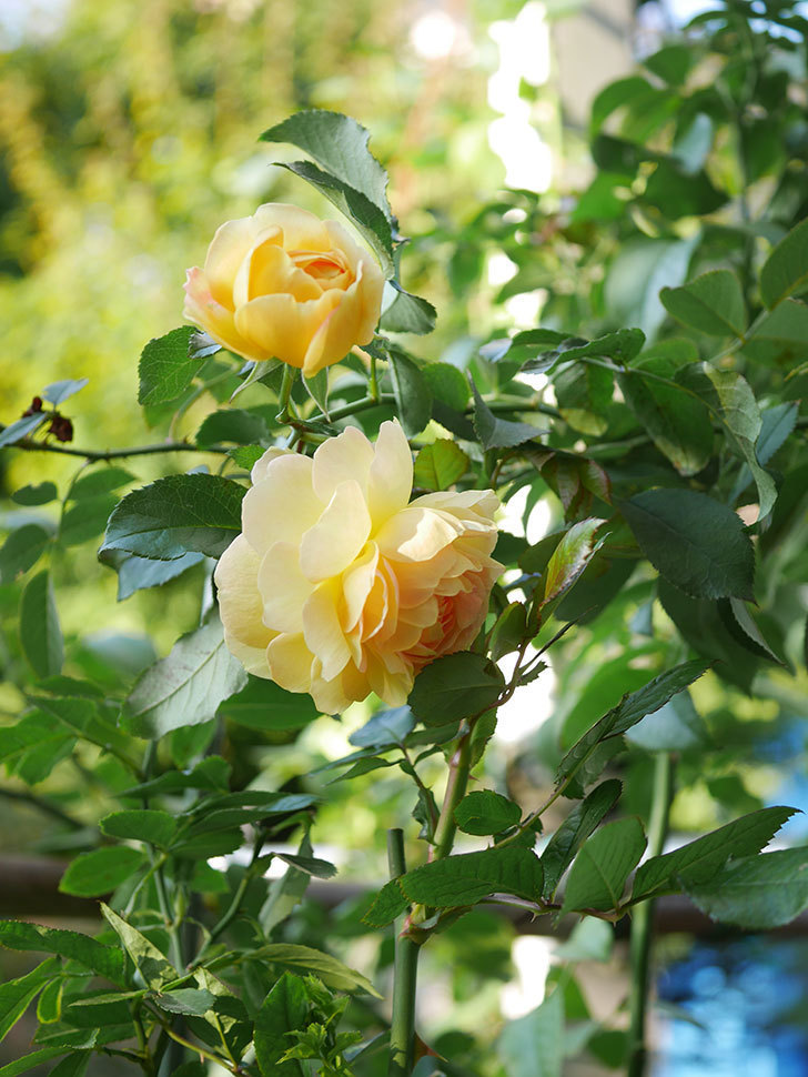レヨン・ドゥ・ソレイユ(Rayon de Soleil)の秋花が咲いた。木立バラ。2020年-004.jpg
