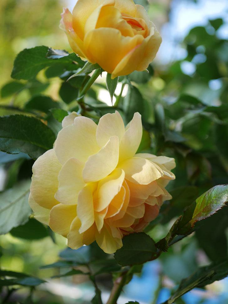 レヨン・ドゥ・ソレイユ(Rayon de Soleil)の秋花が咲いた。木立バラ。2020年-006.jpg