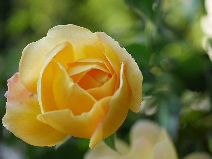 レヨン・ドゥ・ソレイユ(Rayon de Soleil)の秋花が咲いた。木立バラ。2020年-007.jpg