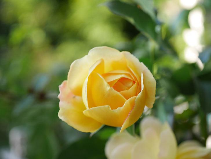 レヨン・ドゥ・ソレイユ(Rayon de Soleil)の秋花が咲いた。木立バラ。2020年-008.jpg