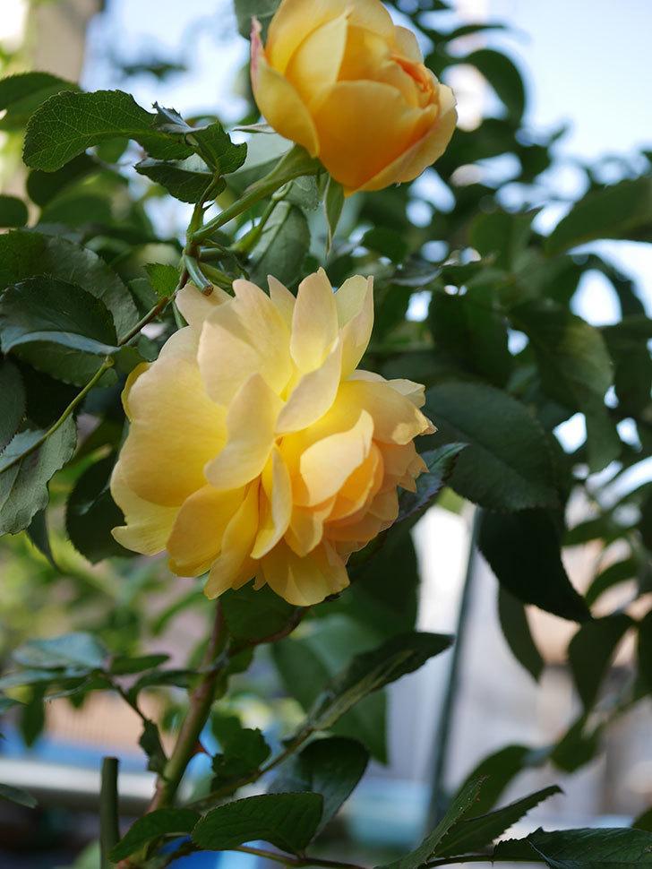 レヨン・ドゥ・ソレイユ(Rayon de Soleil)の秋花が咲いた。木立バラ。2020年-009.jpg