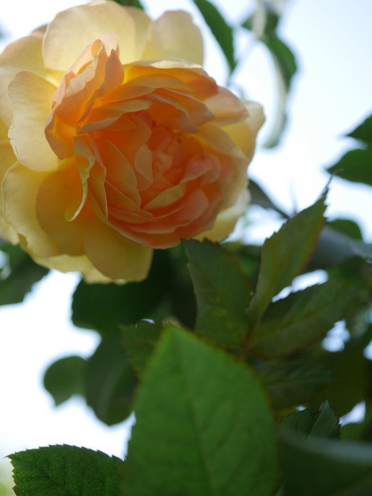 レヨン・ドゥ・ソレイユ(Rayon de Soleil)の秋花が咲いた。木立バラ。2020年-010.jpg