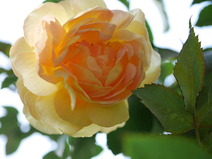 レヨン・ドゥ・ソレイユ(Rayon de Soleil)の秋花が咲いた。木立バラ。2020年-011.jpg