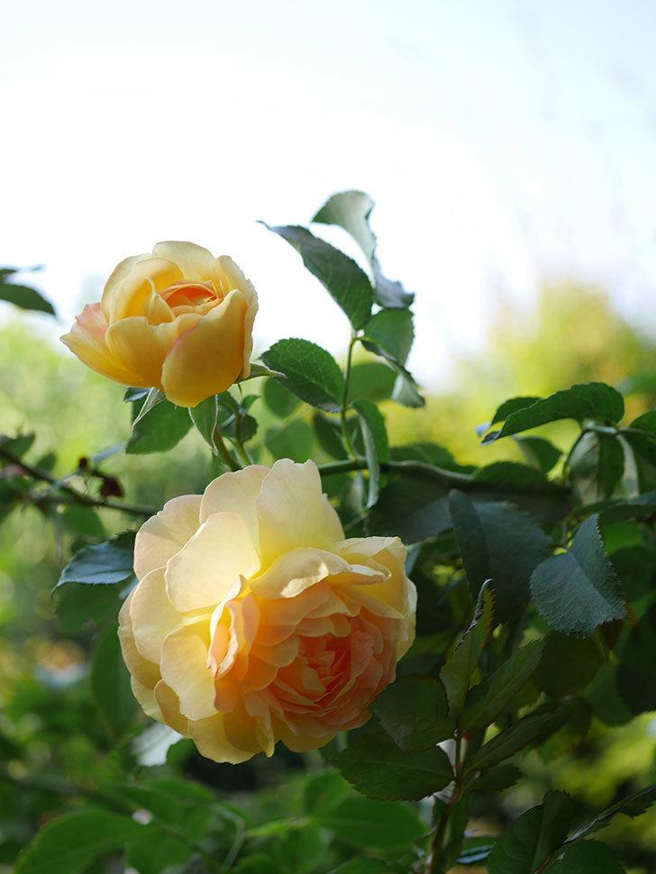 レヨン・ドゥ・ソレイユ(Rayon de Soleil)の秋花が咲いた。木立バラ。2020年-012.jpg