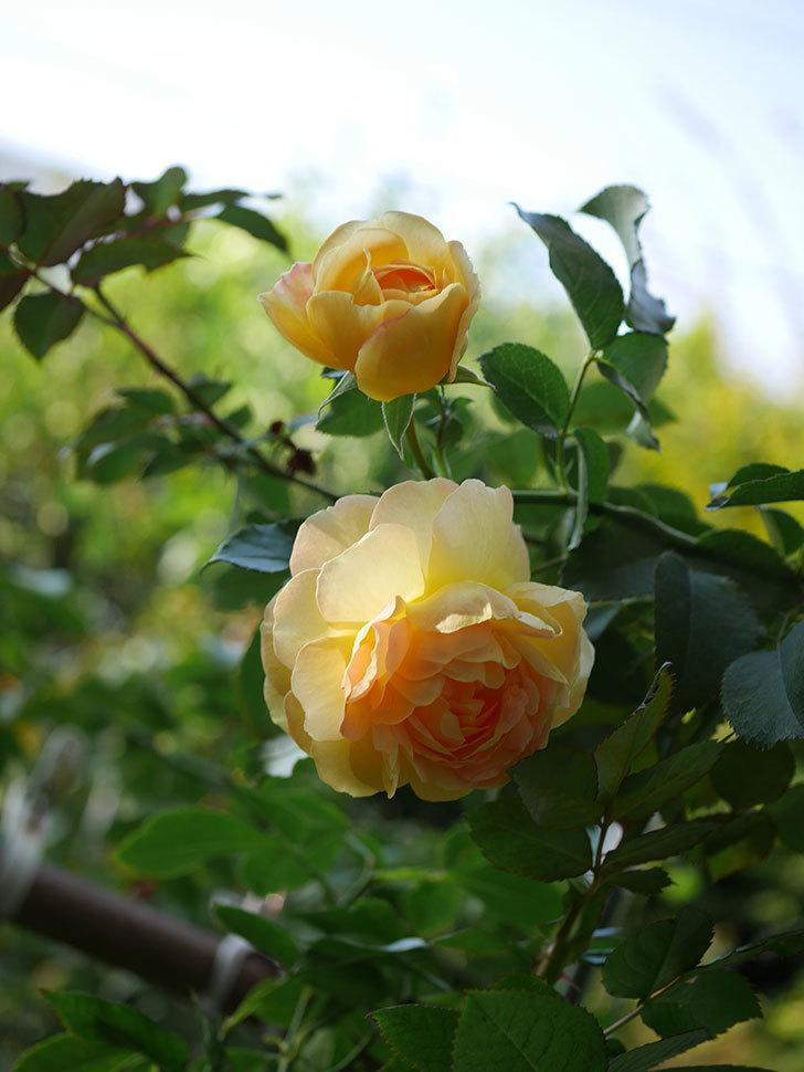 レヨン・ドゥ・ソレイユ(Rayon de Soleil)の秋花が咲いた。木立バラ。2020年-013.jpg