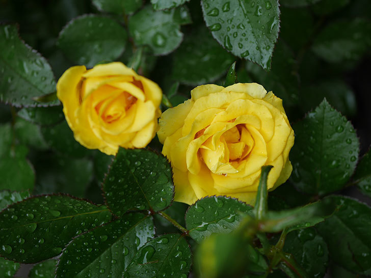 レヨン・ドゥ・ソレイユ(Rayon de Soleil)の花が咲いた。木立バラ。2020年-001.jpg