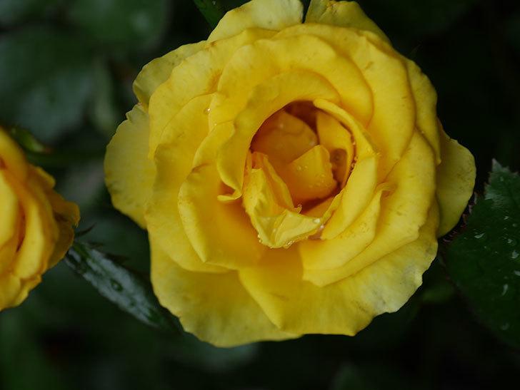 レヨン・ドゥ・ソレイユ(Rayon de Soleil)の花が咲いた。木立バラ。2020年-002.jpg