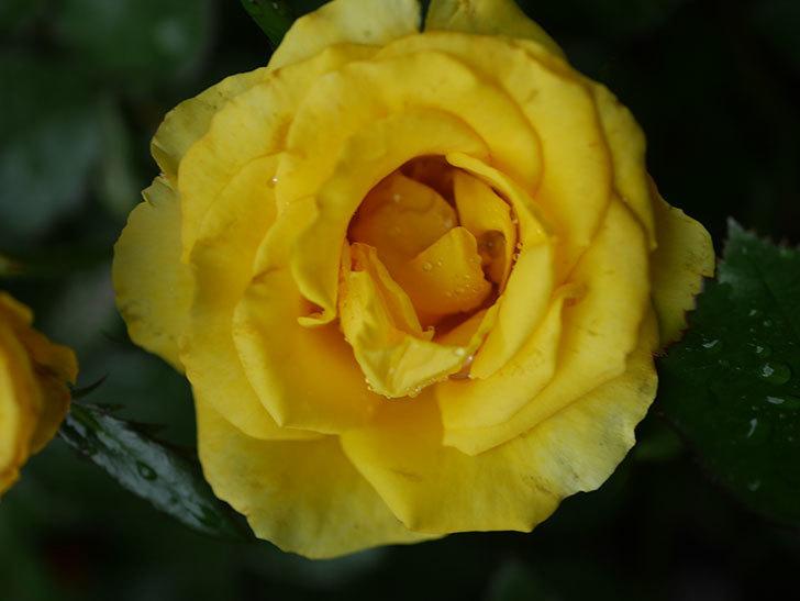 レヨン・ドゥ・ソレイユ(Rayon de Soleil)の花が咲いた。木立バラ。2020年-003.jpg