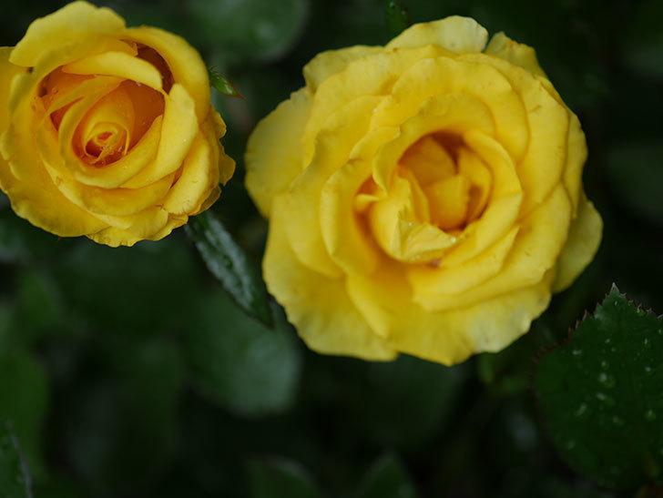 レヨン・ドゥ・ソレイユ(Rayon de Soleil)の花が咲いた。木立バラ。2020年-005.jpg