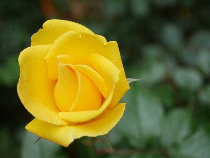 レヨン・ドゥ・ソレイユ(Rayon de Soleil)の花が咲いた。木立バラ。2021年-001.jpg