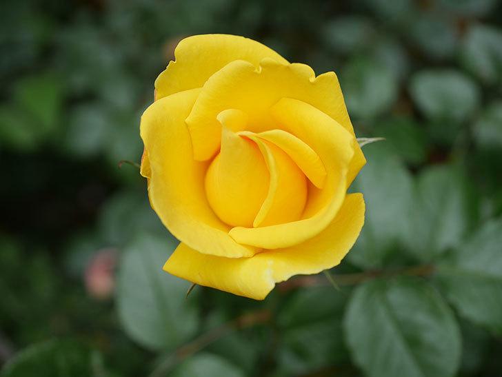 レヨン・ドゥ・ソレイユ(Rayon de Soleil)の花が咲いた。木立バラ。2021年-002.jpg