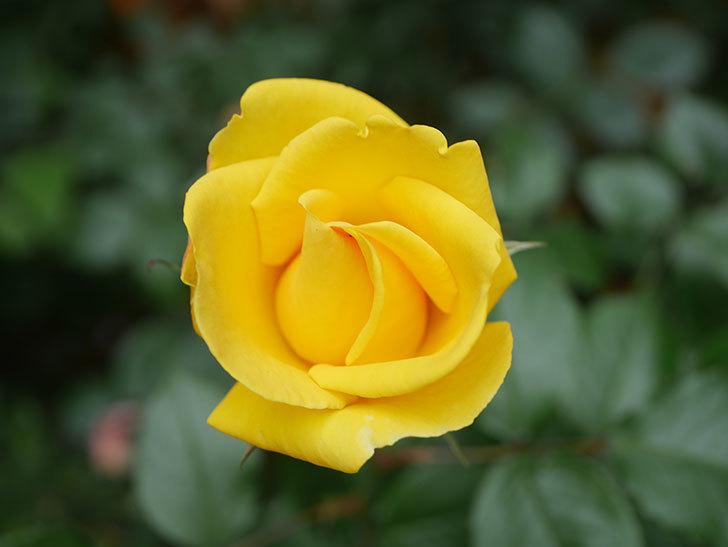 レヨン・ドゥ・ソレイユ(Rayon de Soleil)の花が咲いた。木立バラ。2021年-003.jpg